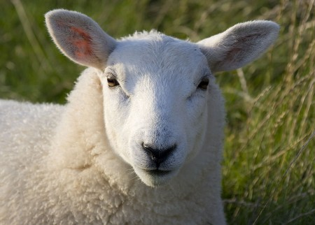 when counting sheep, count this one