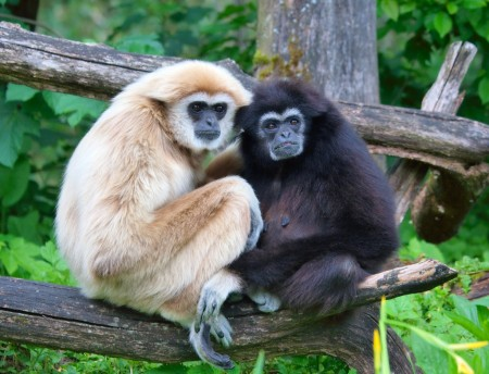 gibbons ponder scholarship declaring our demonic male species