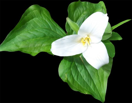 trillium in Oregon by Elmer Galbi, mushroom photographer