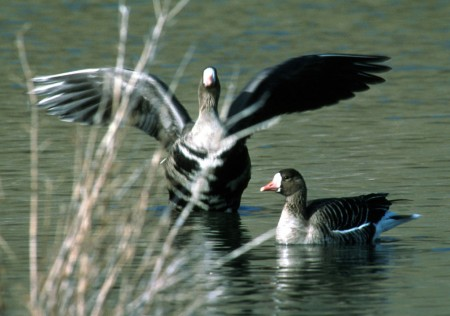 geese displaying wings