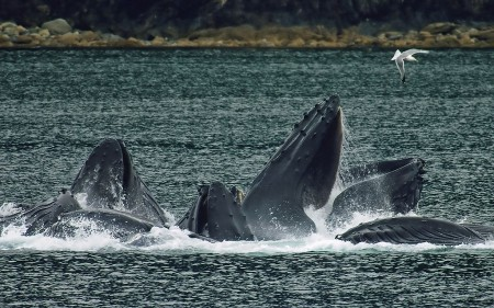 15 humpback whales bubble-net fishing