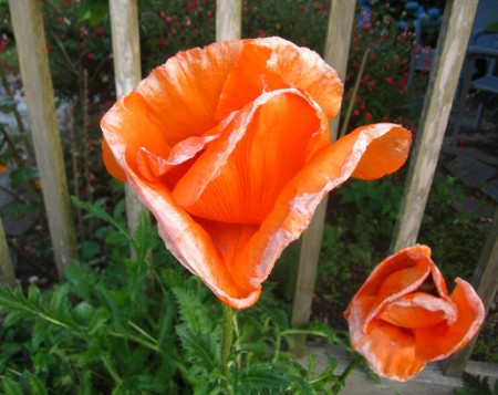 two orange flowers against wooden grate