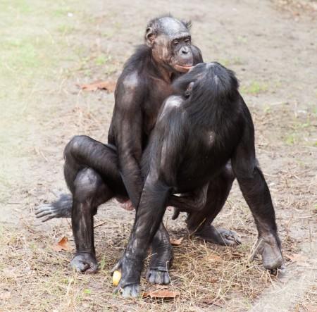bonobos mating