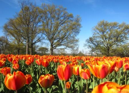 tulip landscape