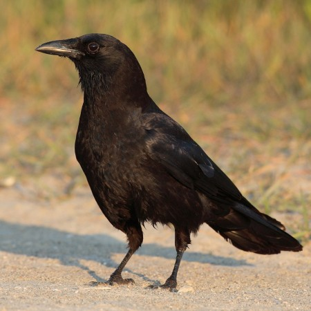 Corbaccio: big crow bearing unpleasant news