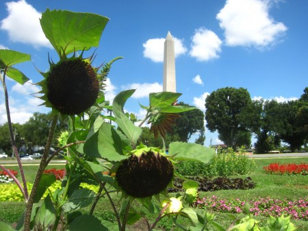 dead sunflowers, Washington Monument