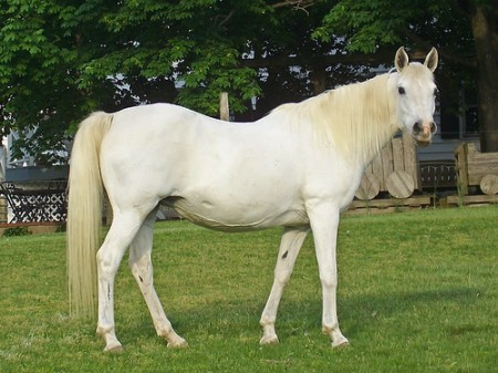 Gray Arabian broodmare