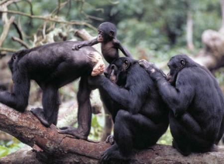 male bonobo grooms female bonobo