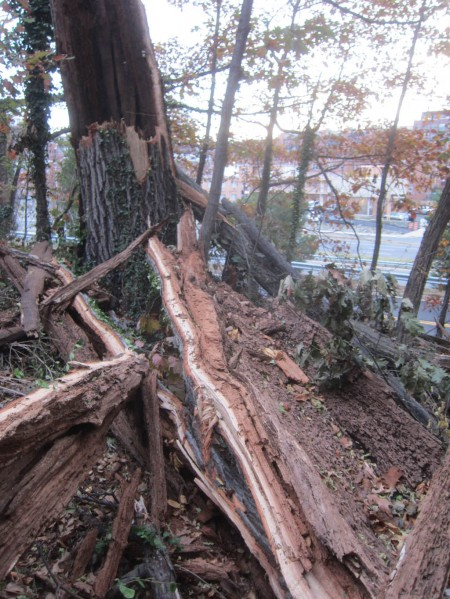 tree, hollow inside, collapsed