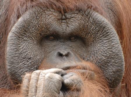 male orangutan pondering humans' views of sexual coercion