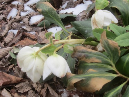 flowers wilting in snow and cold