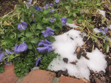 violets with snow