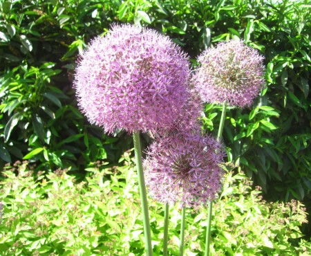 purple flower balls