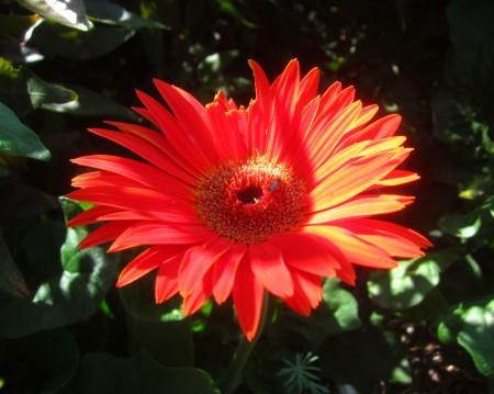broken red flower