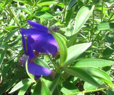 blue blur of enfolded flower