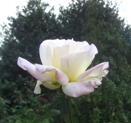 white rose