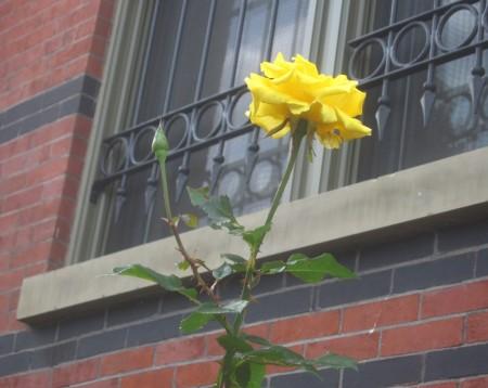 rose against bars