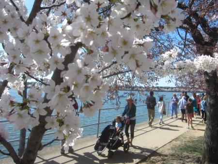 cherry-blossom-strolling