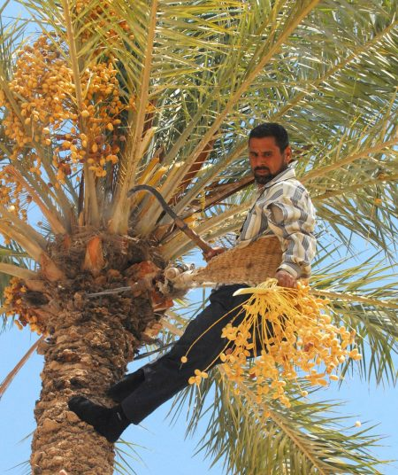 harvesting dates at top of palm tree