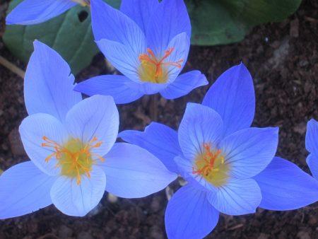 three luminous blue flowers